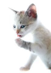 Snowy (pclaesen) Tags: kitten kitty cat cats europeanshorthair d3200nikon animal animals mammal mammals sigmalens sigma1750mm blueeyes blueeyed fur vacht hair haren highkey
