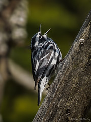Black-and-white Warbler (Melissa M McCarthy) Tags: blackandwhitewarbler warbler black white bird songbird animal nature outdoor wildlife small tiny cute singing stjohns newfoundland canada canon7dmarkii canon100400isii