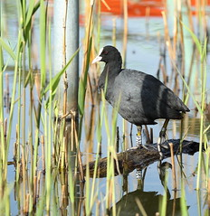 Coot (Barry Miller _ Bazz) Tags: coot canon 5dsr l lens 70 200 f28l outdoor photography nature wildlife victoria park widnes cheshire england wildfowl lake