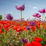 Mohnblüte, poppy flower thumbnail