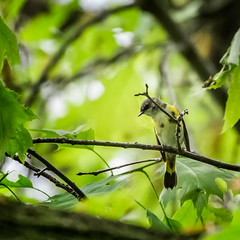 I See You (Portraying Life, LLC) Tags: dbg6 hddfa150450 k1mkii michigan pentax ricoh unitedstates bird closecrop handheld nativelighting migrant warbler tree canopy