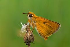 Ochlodes sylvanus (Piagor) Tags: ochlodessylvanus mariposa macro olympusem5markii olympus30mmf35macro