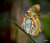 Malachite (jt893x) Tags: 105mm afsvrmicronikkor105mmf28gifed butterfly d810 insect jt893x macro malachite nikon siproetastelenes coth alittlebeauty thesunshinegroup
