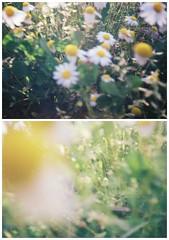 learning (marianaferro) Tags: art film flowers fujifilm kodak canon camera analog analogphotography analogy afternoon leafs landfield plant 35mm