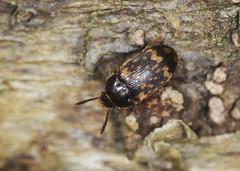 Photo of Hairy Fungus Beetle - Mycetophagus atomarius