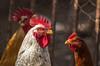 IMG_0084.jpg (StefanosT) Tags: greece canon6d chicken cockerel bird