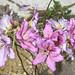 羊蹄甲的花