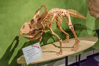 Protoceratops andrewsi (Andy for short) ;D