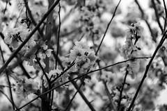 a dash of pink (Greg Rohan) Tags: depthoffield blur bloom stem black white monochrome blackwhite blackandwhite bw nature flowers flower d7200 2017 nikon nikkor blossom tree macro blossoms dof