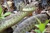 Hike Interrupted (Patricia Henschen) Tags: castlerockcolorado castlewoodcanyonstatepark castlerock colorado coloradoparkswildlife statepark park trail snake rattlesnake