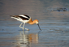 American Avocet (Boulder Flying Circus Birders) Tags: americanavocet recurvirostraamericana americanavocetcolorado americanavocetboulder wildbirdboulder wildbirdcolorado wildbirdcompany formerwildbirdcenter notwildbirdsunlimited birdseed birdwalk saturdaymorningbirders waldenpondswildlifehabitat bouldercountyopenspace sawhillponds cityofboulderopenspaceandmountainparks colorado gunbarrel janebaryames