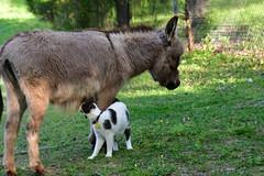 Dragon Fly Farm Donkeys 20180502 20180501  DSC_3075 Cat (Shane's Flying Disc Show) Tags: donkeys catdragonflyfarm