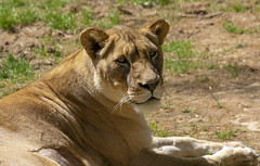 National Zoo 3 May 2018  (534) African Lion (smata2) Tags: lioness lion pantheraleo bigcats flickrbigcats smithsoniannationalzoo zoo zoosofnorthamerica itsazoooutthere animals zoocritters
