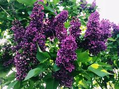 Lilacs in Lafayette (f l a m i n g o) Tags: purple bush lilac