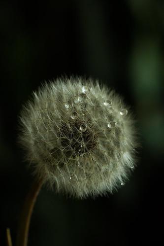 Dandelion, From FlickrPhotos