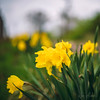 Daffodils | HBW (w.mekwi photography [here & there]) Tags: daffodils spring flowers dof nature bokehwednesday yellow 1x1 niftyfifty bokehlicious depthoffield nikond800 wmekwiphotography