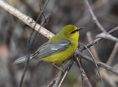 Blue-winged Warbler (Digital Plume Hunter) Tags: