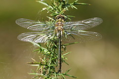 Downey Emerald On Gorse 2 (Hugobian) Tags: downey emerald dragonfly dragonflies insect macro nature wildlife fauna pentax k1 thursley common moat pond newly emerged