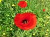 La alegría del campo (kirru11) Tags: primavera campo flores amapolas hierba quel larioja españa kirru11 anaechebarria canonpowershot