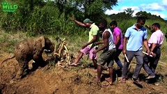 Elephant mother and baby saved from a mud hole (THE WILD ELEPHANT) Tags: huge elephant rescue video youtube quite baby funny kids videos the wild wildlife news tv