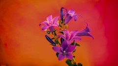 Flowers - 5126 (YᗩSᗰIᘉᗴ HᗴᘉS +15 000 000 thx) Tags: lx15 lumix flower flora macro soft orange color vivid hensyasmine namur belgium europa aaa namuroise look photo friends be wow yasminehens interest intersting eu fr greatphotographers lanamuroise tellmeastory flickering