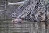 20180507-Flickr-0019 (Iris Harm Fotografie) Tags: bever beaver ed willem iris harm fotografie natuur outside nature outdoor buiten water biesbosch knagen geur afzetten tanden