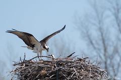 Are you ok? (PerfumeG2011 (on and off )) Tags: pandionhaliaetus nature birds ontario osprey 2018 nest birdsofprey ontariocanada canada