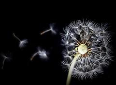 in the wind (majka44) Tags: macro black white flower creation nature dandelion wind dark creative darker