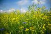 Vivitar Wide-Angle 2,5/28 (eberhardwild) Tags: greatphotographers vivitar weitwinkel 28mm blau gelb grün raps kornblume sony a7ii