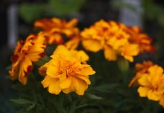 DSC08234 (Old Lenses New Camera) Tags: sony a7r reichert neupolar 100mm f63 macro plants garden flowers marigolds