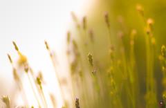 Lavender (Real_Aragorn) Tags: lavendel lavender