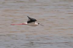 1000 to One (Andrew_Leggett) Tags: blackwingedstilt himantopushimantopus stilt wader rarity bird inflight water skimming waves nature natural wild wildlife