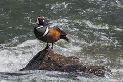 On display (ChicagoBob46) Tags: harlequinduck harlequin duck bird yellowstone yellowstonenationalpark nature wildlife sunrays5 coth5 ngc npc