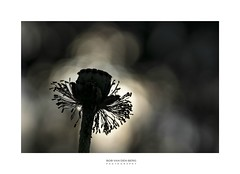 the dark knight... (Zino2009 (bob van den berg)) Tags: poppy flower wild nature color black backlight shades fifty bokeh natural silhouette blooming end crown bubbles sunset holland details