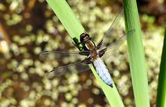 Chaser by the pond (SteveJM2009) Tags: chaser broadbodied dragonfly pond kingstonlacy dorset uk may 2018 spring stevemaskell sun water reed libelluladepressa