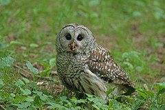 05202018Barred Owl FU5A1705 uncropped (Steven Arvid Gerde) Tags: owl