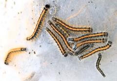 eastern tent caterpillars (Malacosoma americanum) at Hayden Prairie State Preserve IA 854A2707 (lreis_naturalist) Tags: eastern tent caterpillars malacosoma americanum hayden prairie state preserve howard county iowa larry reis