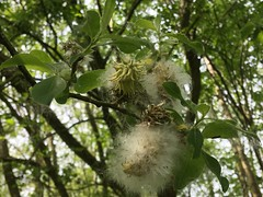 tree flower (bloomspix) Tags: walknow somerset avalon artist walk