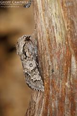 Light Knot Grass Acronicta menyanthidis (gcampbellphoto) Tags: nature wildlife northantrim gcampbellphoto macro lightknotgrass acronictamenyanthidis moth insect