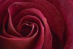 The Beauty of Simplicity (Modkuse) Tags: macro rose macrophotography macrolens macroflowers macroflower nikon nikondslr nikond100 105mmf28nikkormacro nikon105mmf28macronikkor flower