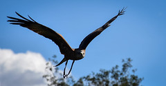 Freedom of Flight (littlestschnauzer) Tags: york huby uk bird birds flight fly flying 2018 display centre visitor tourist attraction yorkshire sky wings wingspan feathers prey