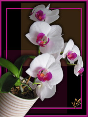 Tilted Orchids (Koko Nut, it's all about the frame) Tags: orchid white pink pinkishred green yellow right tilt frame framedflower black geometric tropical flower koko kokonut wonder