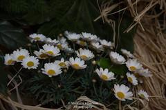 Margherite (manuela albanese) Tags: euroflora2018 manuela albanese photo genova genoa sunday morning