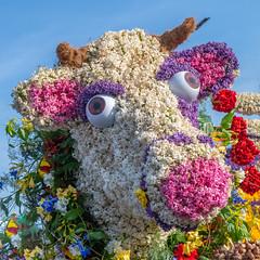 Flowerly Cow (- Jan van Dijk -) Tags: cow koe flowers corso flowerfestival nederland hillegom parade bloemencorso southholland netherlands colour bollenstreek