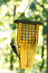 Snacktime (sctag1015) Tags: bird wildlife avian nature backyard birding animal feathers outdoors feeder suet birdfeeder downy woodpecker female