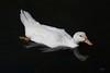 Pato (Carlos Santos - Alapraia) Tags: pato duck ngc ourplanet animalplanet canon nature natureza wonderfulworld highqualityanimals unlimitedphotos fantasticnature birdwatcher ave bird pássaro