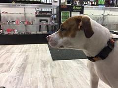 Pit bull mix in Washington state marijuana dispensary (Animal People Forum) Tags: washingtonstate unitedstates pitbullterrier pitbull dog