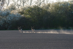 On the run (hanschristian_nielsen) Tags: deer spring flower tree fejø denmark sky fejødenmark field fallowdeer running animal