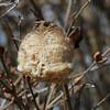 Praying Mantis, egg case (Herman Giethoorn) Tags: mantis eggcase