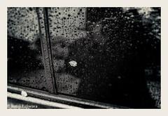 lingering sakura #5 (kouji fujiwara) Tags: fujifilm fujifilmxpro2 xpro2 fujinon xf23mmf14 xf23mm f14 cherry blossom cherryblossom spring rain monochrome blackandwhite blackwhite noir